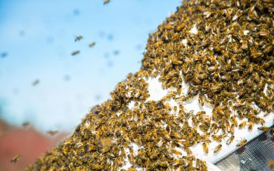 Time for Bee Swarms